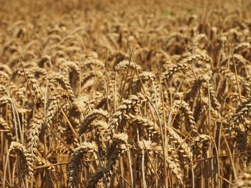 В Україні на 2.4% скоротиться врожай зернових, - експерт фото, ілюстрація