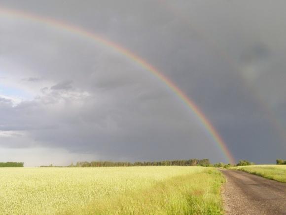 Дощі дещо погіршили якість пшениці на Вінничині фото, ілюстрація