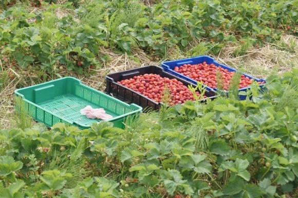 В Польше фермеры не успевают собрать урожай клубники фото, иллюстрация