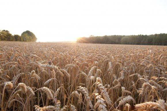 «РАЖТ» та «Байєр» підписують угоду про розробку гібридів пшениці для європейських ринків фото, ілюстрація