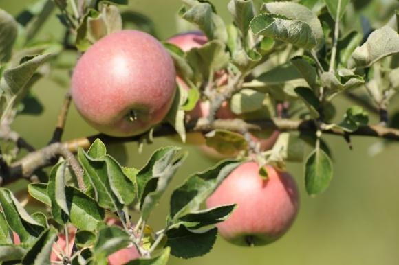Лише два українські господарства з вирощування яблук пройшли європейську сертифікацію фото, ілюстрація
