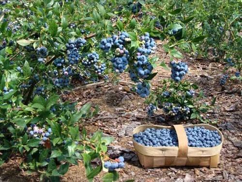 Фермеры Винницкой области переходят на выращивание голубики фото, иллюстрация