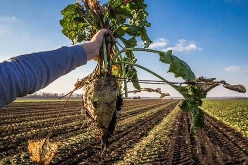 Аграрії України розпочали збір цукрових буряків фото, ілюстрація