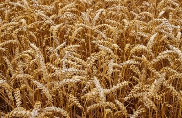 Пшениця в Україні подорожчала на 40%, - Анатолій Гайворонський фото, ілюстрація