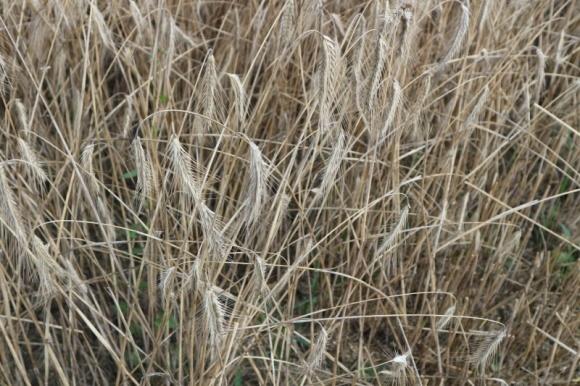 Якість зерна в Україні переважно хороша і задовільна фото, ілюстрація