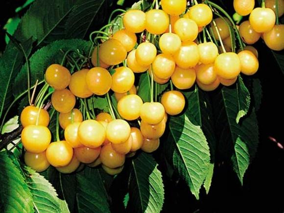 Садівники  України вивчали досвід вирощування, зберігання та транспортування черешень в Чехії фото, ілюстрація