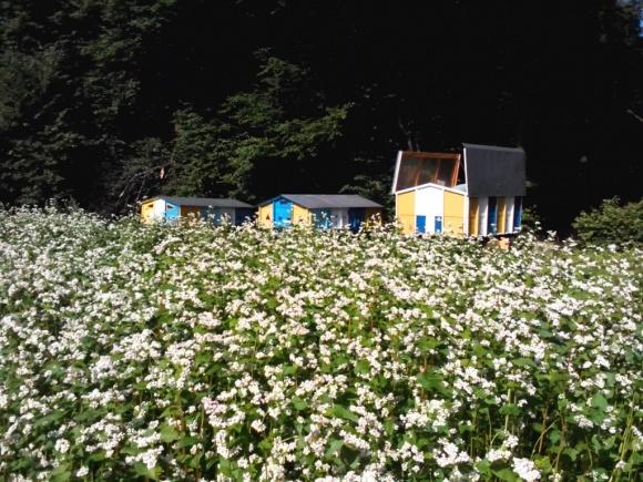 Размещение на полях пчелосемей повысит урожайность гречихи на 30-40% фото, иллюстрация