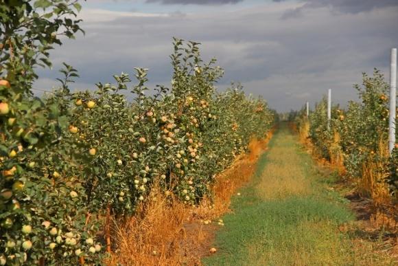 Яблоневые сады Украины перезимовали очень хорошо, — эксперт фото, иллюстрация