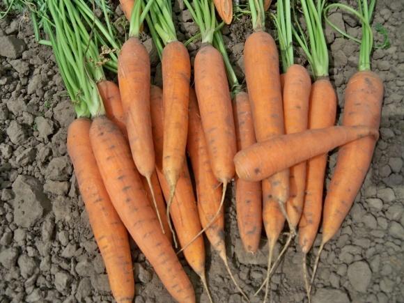 Ціни на моркву стрімко падають фото, ілюстрація