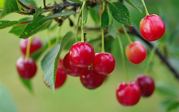 Несмотря на расширение площадей вишневых садов, в Украине может быть дефицит вишни  фото, иллюстрация