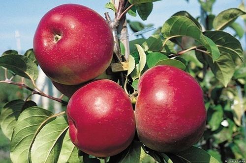 Представники оптових компаній збільшили закупівлі яблук фото, ілюстрація