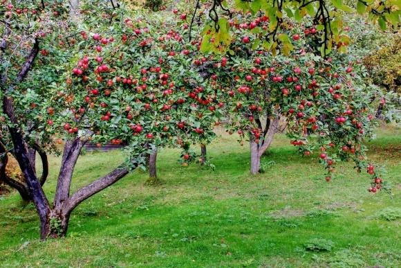 Садівники України масово позбуваються від продуктивних яблуневих садів фото, ілюстрація
