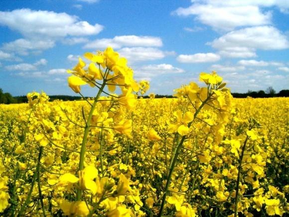 У вітчизняному експорті олійних культур посилився європейський вектор – Інститут аграрної економіки фото, ілюстрація