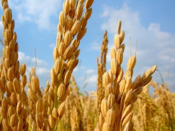 Іран розробляє технологію виробництва компосту з рисових відходів фото, ілюстрація