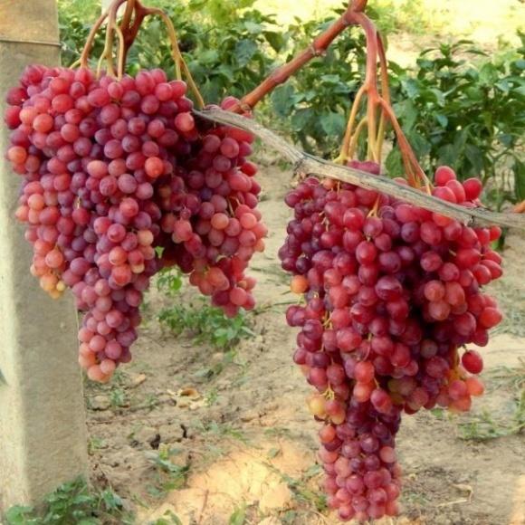 В Україні розпочався сезон вітчизняного столового винограду фото, ілюстрація