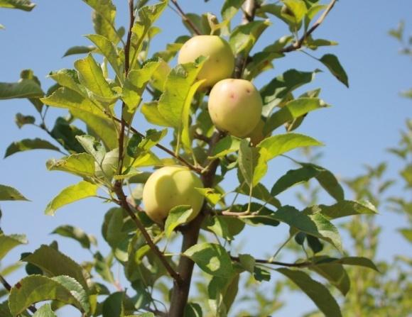 Через низькі  ціни фермери викорчовують яблуневі сади  фото, ілюстрація