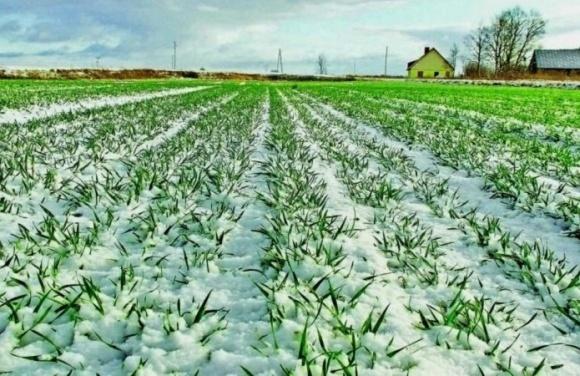 Состояние посевов озимой пшеницы в Донецкой области преимущественно хорошее фото, иллюстрация