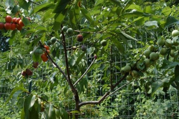 В США профессор Университета создает деревья, которые дают 40 различных плодов фото, иллюстрация