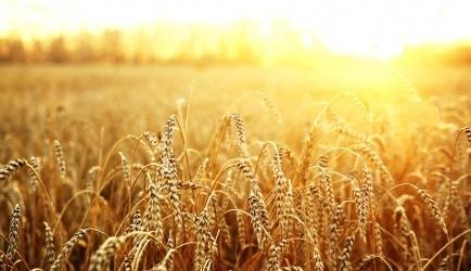 В США вывели пшеницу, толерантную к гербицидам фото, иллюстрация