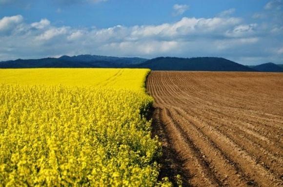 Урожай рапса в Украине может стать рекордным за последние 10 лет  фото, иллюстрация