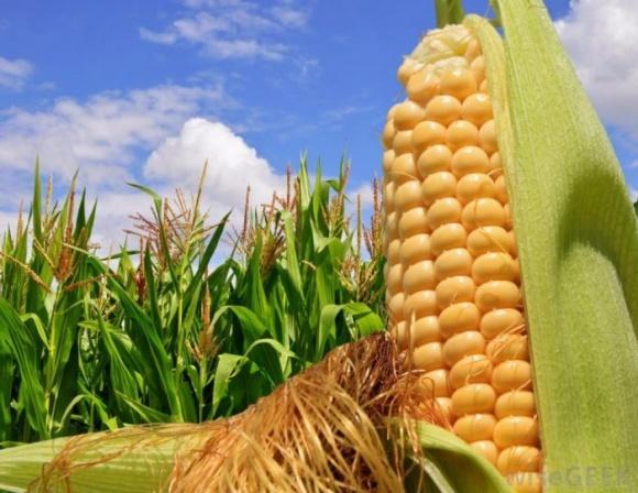 Робот допомагатиме вивчати будову рослин кукурудзи фото, ілюстрація
