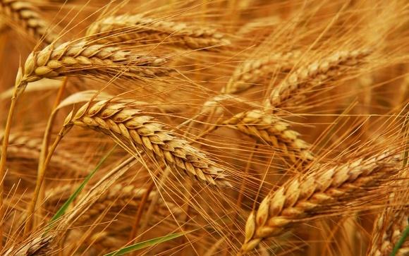 На ринку надлишок фуражної пшениці і мало продовольчої фото, ілюстрація