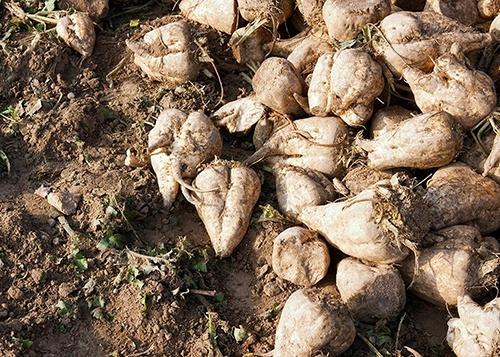 На Черкащині валовий збір цукрових буряків очікується в межах 360 тис. тон фото, ілюстрація
