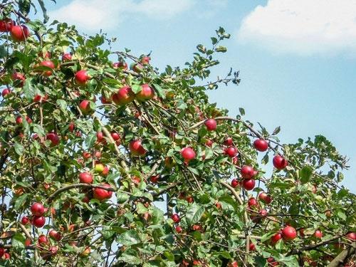 У третьому кварталі Україна збільшила імпорт яблук в 17 разів фото, ілюстрація