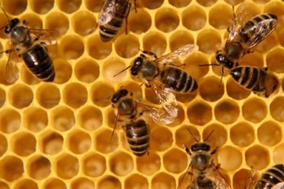 Врятуйте бджіл від вимирання: вперше в світі розроблено вакцину для комах фото, ілюстрація