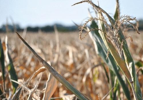Посуха може знищити частину врожаю на Тернопільщині фото, ілюстрація