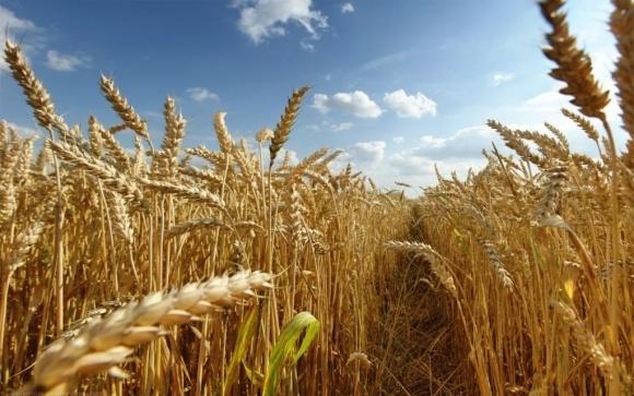 Производство зерновых в 2017 году оценивается на уровне выше среднего фото, иллюстрация
