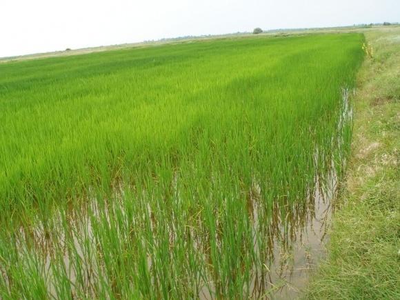 На Херсонщині збільшили посівні площі рису фото, ілюстрація