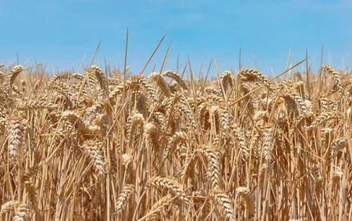 Аграрії чотирьох областей України розпочали збирання врожаю, - Мінагропрод фото, ілюстрація