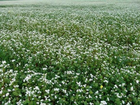 В Україні може скоротитися посівна площа під гречкою фото, ілюстрація
