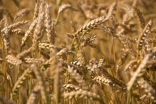 В Україні зібрано 2.7 млн тон зерна нового врожаю фото, ілюстрація