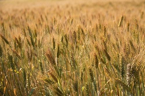 В Украине собрано 19.7 млн тонн зерна нового урожая фото, иллюстрация