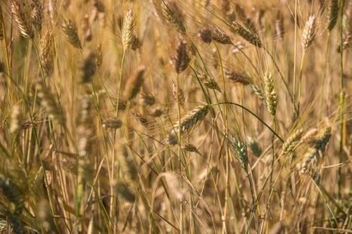 В Украине уже собрали зерна более чем 6 млн га площади фото, иллюстрация
