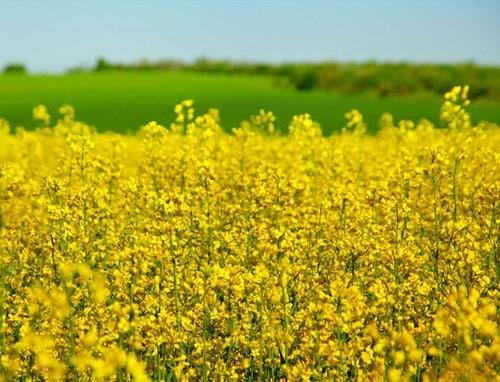 У 11 областях України розпочато сівбу озимого ріпаку під урожай 2020 року фото, ілюстрація