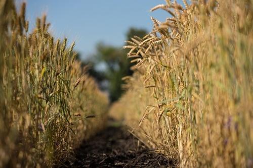 В Украине почти завершена уборка ранних зерновых и зернобобовых культур фото, иллюстрация