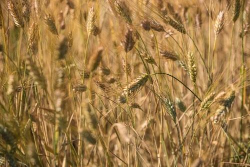В Украине собрано 42.4 млн тонн зерна фото, иллюстрация