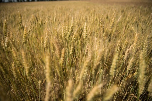 В Україні зібрано майже 59 млн тон зерна фото, ілюстрація