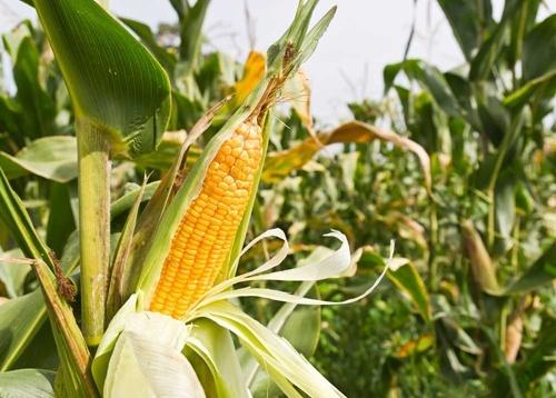 Україна збільшила експорт кукурудзи на 10 млн тон фото, ілюстрація