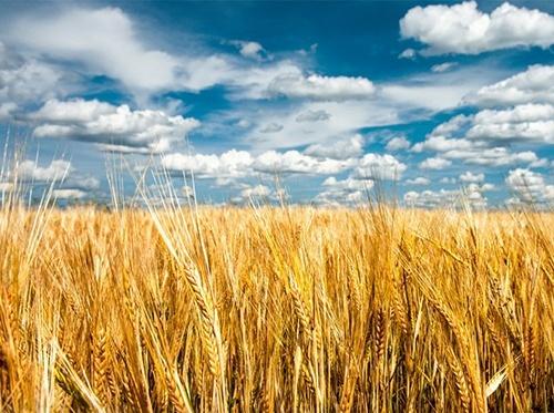 Сумська область розпочала збір зернових фото, ілюстрація