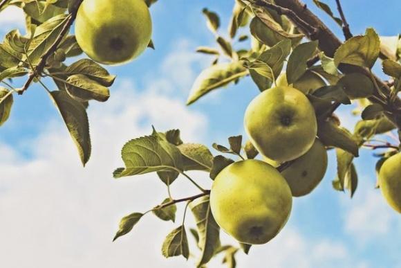 Яблочный спас 2018: приметы и традиции  фото, иллюстрация