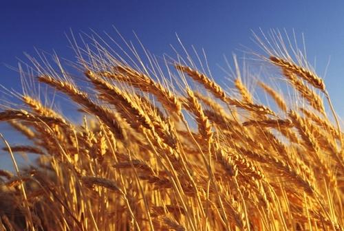 В Україні та Росії ціни експорту на пшеницю значно вище торішніх показників фото, ілюстрація