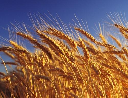 З 10 червня набирає чинності новий стандарт на пшеницю фото, ілюстрація