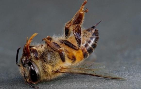 Масова загибель бджіл на Прикарпатті   фото, ілюстрація