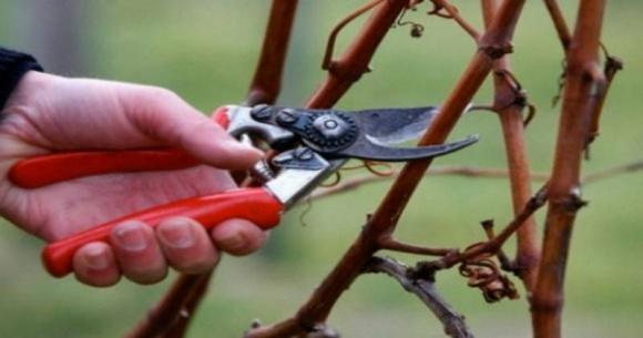 Через аномально теплу зиму виноградарі радять обрізати лозу фото, ілюстрація