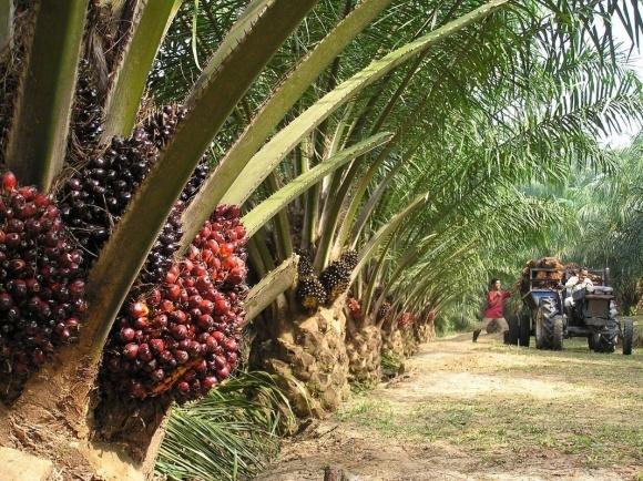 Верховная Рада поддержала идею введения налога на импорт пальмового масла фото, иллюстрация