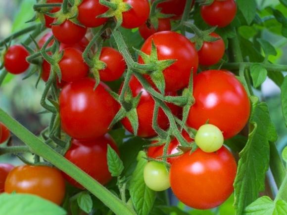 В 2018 году производство промышленных томатов в ЕС заметно снизится фото, иллюстрация